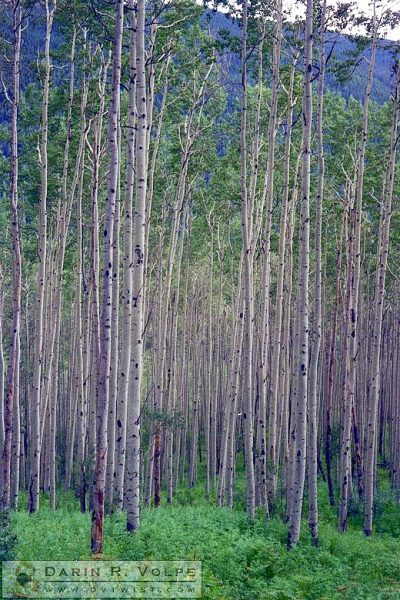 Aspen Trees - Utah or Colorado, 1989