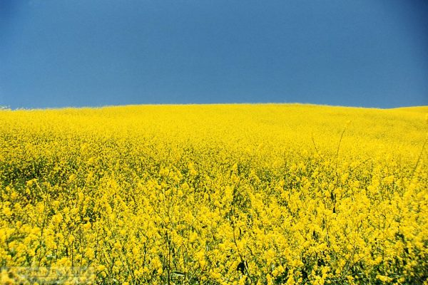 Mustard Field on Old Creek Rd. Between Cayucos and Highway 46 - 1991