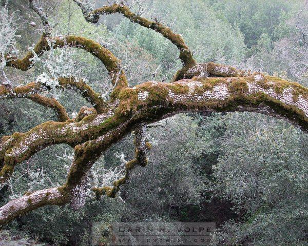 """""""Mossy Oak"""" [Oak Tree On Mt. Hamilton Road, Santa Clara County, California]"""