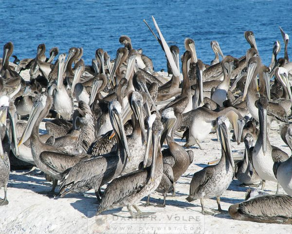 """""""The Comedy Troupe"""" [Pelican Rock At Pismo Beach, California]"""