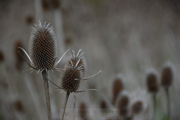 """Pop Goes The Teasel"" [Santa Clara County, California]"
