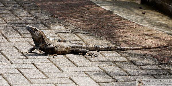An iguana in Jaco, Costa Rica.