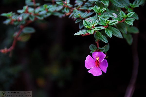 """Flower on the Volcano"" [Escolonia Flower at Parque Nacional Volcan Poas, Costa Rica]"