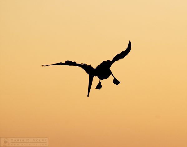Bad Feather Day -- Brown Pelican Silhouette in Morro Bay, California