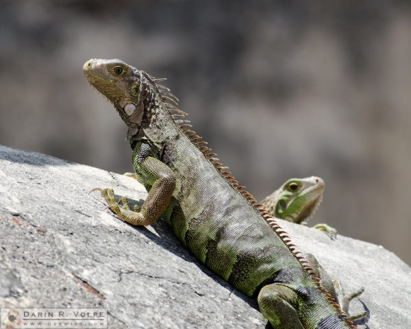 """Pssst....Back Here!"" [Two Green Iguanas at San Juan National Historic Site, Puerto Rico]"