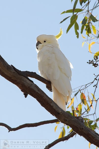 """Who's That Cockatoo?"" [Sulfur Crested Cockatoo in New South Wales, Australia]"