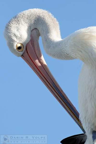"""I'm a Harp!"" [Australian Pelican in New South Wales, Australia]"