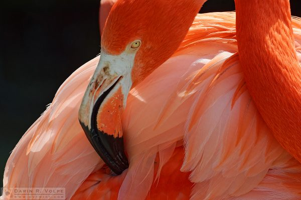 """That's the Spot"" [American Flamingo at Charles Paddock Zoo in Atascadero, California]"