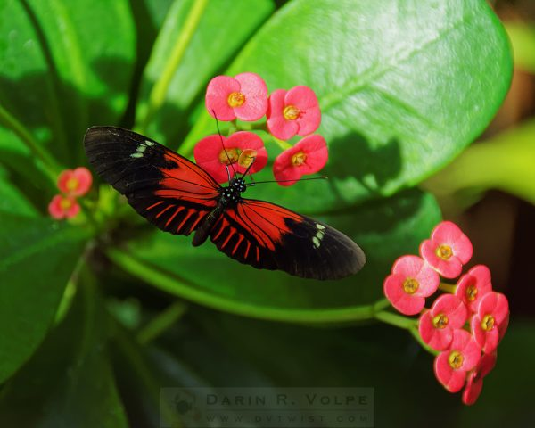 """Red"" [Postman Butterfly at Key West Butterfly and Nature Conservatory, Key West, Florida]"