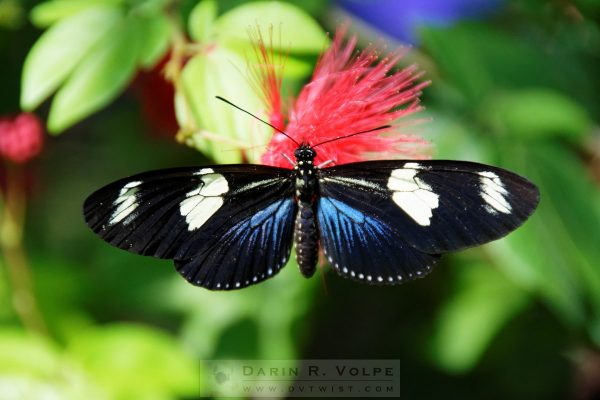 """""""Technicolor"""" [Longwing Doris Butterfly at Key West Butterfly And Nature Conservatory, Florida]"""
