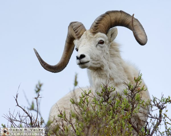 """Hello Dally!"" [Dall Sheep in Denali Naitonal Park, Alaska]"