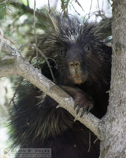 """Not As Cuddly As I Look"" [North American Porcupine in Kenai National Wildlife Refuge, Alaska]"