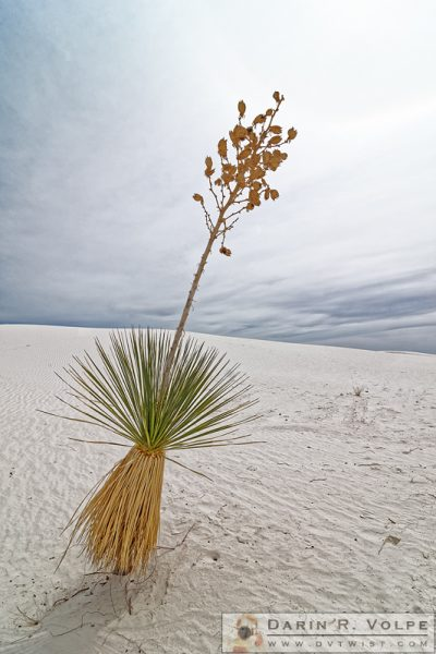 """Hula Yucca"" [Soaptree Yucca in White Sands National Monument, New Mexico]"