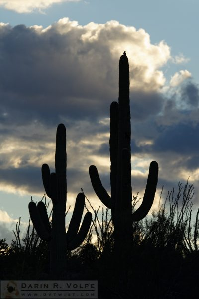 """Standing Watch"" [Bird on Saguaro Cactus in Saguaro National Park, Arizona]"
