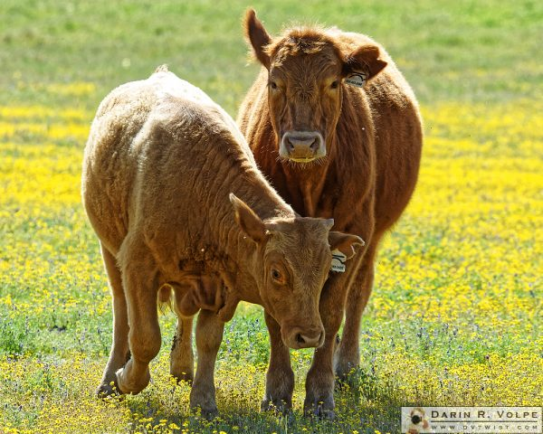"""I Won't Steer You Wrong"" [Two Steer in a Field of Flowers in Santa Margarita, California]"