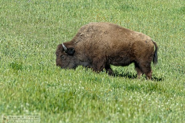 """Amazing Graze"" [American Bison in Santa Margarita, California]"