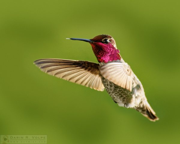 """Raspberry"" [Anna's Hummingbird in Templeton, California]"