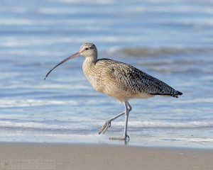 """A Stroll on the Beach"" [Long-Billed Curlew at Morro Strand State Beach, Morro Bay, California]"