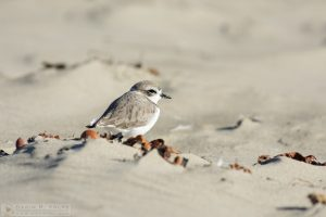 """Puff Ball"" [Western Snowy Plover at Morro Strand State Beach, Morro Bay, California]"