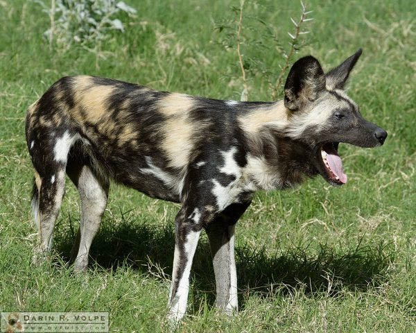 African Wild Dog at the Living Desert Zoo and Gardens, Palm Desert, CA.