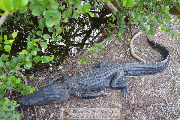 American Alligator at Florida Everglades National Park