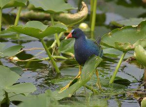 Purple Gallinule at Florida Everglades National Park