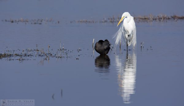 """I Can't Work Like This"" [Egret And Coot At Merced National Wildlife Refuge, California]"