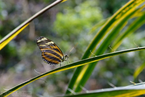 """Spiny Runway"" [Tiger Longwing Butterfly at California Academy of Sciences, California]"