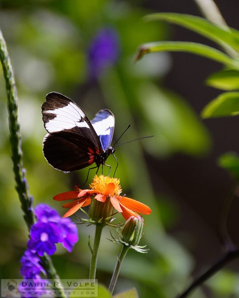 """""""Orange Drink"""" [Sapho Longwing Butterfly in California Academy of Sciences, California]"""