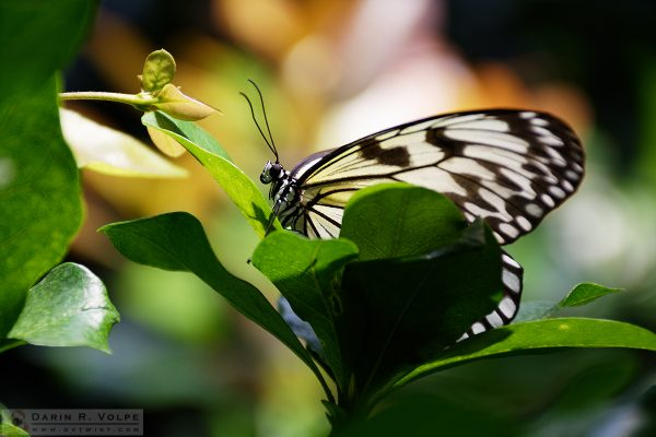 """Rice Paper"" [Paper Kite Butterfly at California Academy of Sciences, California]"