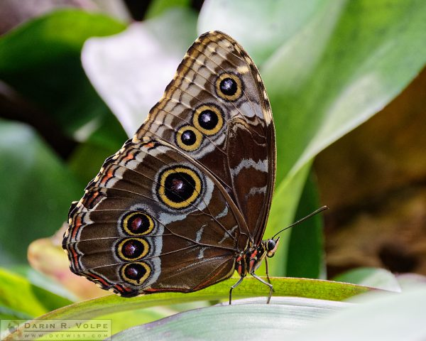 """The Eyes Have It"" [Blue Morpho Buttefly in California Academy of Sciences, California]"