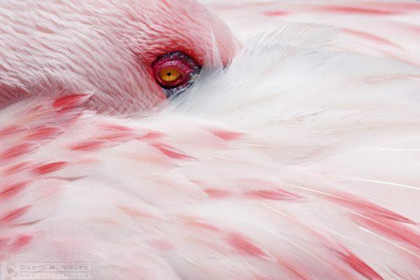 """A Touch of Pink"" [Lesser Flamingo at San Diego Zoo Safari Park, California]"