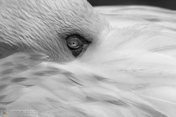 """Pretty in Gray"" [Lesser Flamingo at San Diego Zoo Safari Park, California]"
