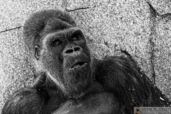 """Winston"" [Western Lowland Gorilla at San Diego Zoo Safari Park, California]"