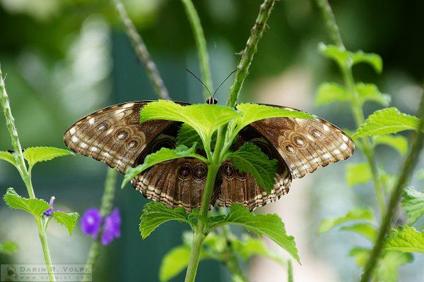 """Peekaboo!"" [Blue Morpho Buttefly in San Diego Zoo Safari Park, California]"