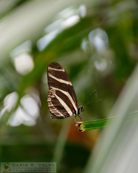 """Standing at the Edge"" [Zebra Longwing Butterfly at San Diego Zoo Safari Park, California]"