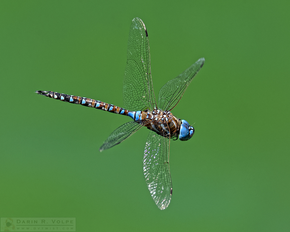 """Nature's Helicopter"" [Blue-Eyed Darner Dragonfly Male in San Luis Obispo, California]"