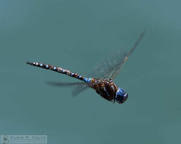 """Landing Gear Up"" [Blue-Eyed Darner Dragonfly Male in San Luis Obispo, California]"