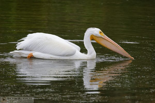 """Dinner at the Lake"" [American White Pelican in Oso Flaco Lake, California]"