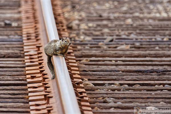 """Squirrel Tracks"" [Ground Squirrel on Train Tracks in Elkhorn Slough Estuarine Reserve, California]"