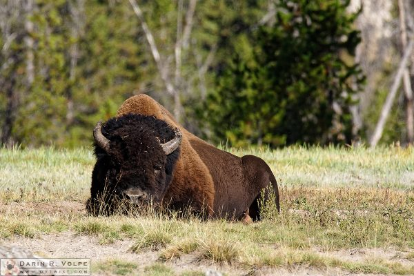 """Let Sleeping Bison Lie"" [American Bison in Yellowstone National Park, Wyoming]"