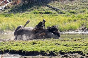 """Rolling on the River"" [American Bison Wallowing in Yellowstone National Park, Wyoming]"