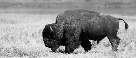 Featured Collection: The Bison of Yellowstone