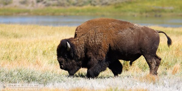 """Bozheena"" [American Bison in Yellowstone National Park, Wyoming]"