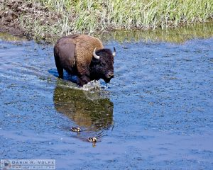 """Like a Duck to Water"" [American Bison in Yellowstone National Park, Wyoming]"