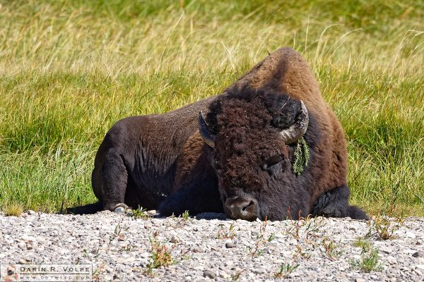 """The Bohemian"" [American Bison in Yellowstone National Park, Wyoming]"