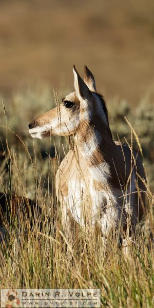 """Native American"" [Female Pronghorn in Yellowstone National Park, Wyoming]"