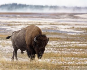 """American Icon"" [American Bison in Yellowstone National Park, Wyoming]"