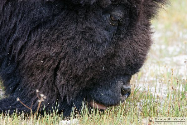 """The Mowers of Yellowstone"" [American Bison in Yellowstone National Park, Wyoming]"