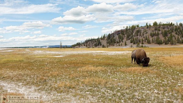 """Grazing in the Grass"" [American Bison in Yellowstone National Park, Wyoming]"